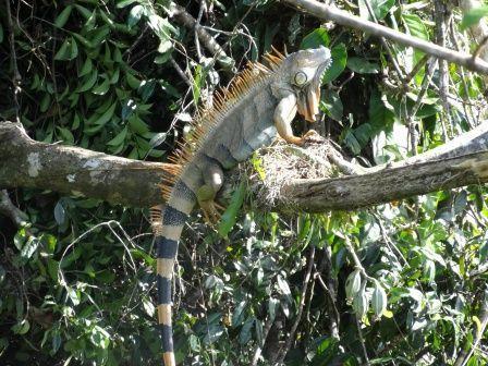 tortuguero-iguane-femelle.jpg