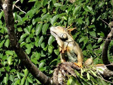 tortuguero-iguane-male.jpg