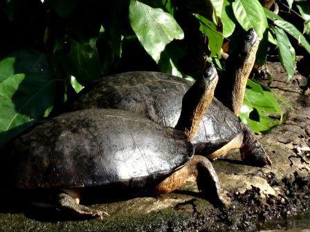 tortuguero-tortues.jpg